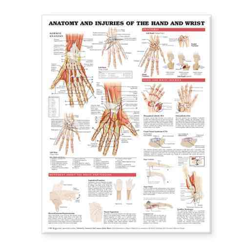 Anatomy and Injury Of Hand And Wrist Anatomical Chart